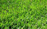 Bermuda grass causes scratching and itching in a majority of pets