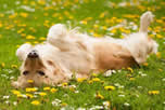 Cats & dogs tend to roll in grass and flowers and thus pick up pollen