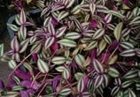 The Wandering Jew adds colour to the garden but harms pets