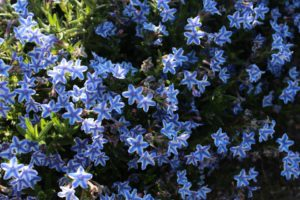 Perennials - Blue Star