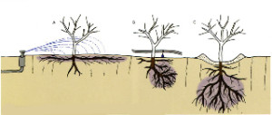 deep and shallow root plants