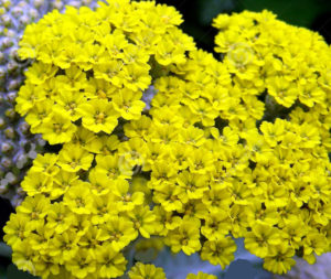 perennials - moonshine yarrow