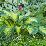 consider the two-tone hosta varieties