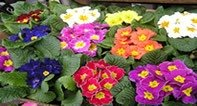 primrose flowers look beautiful but cause terrible symptoms in pets