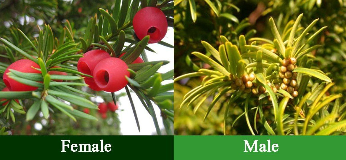 Male yews are poisonous to pets