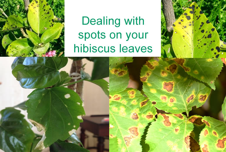 Brown and black spots on hibiscus leaves