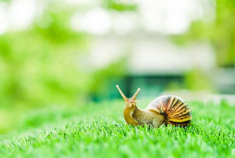 Snail sitting on manicured lawn