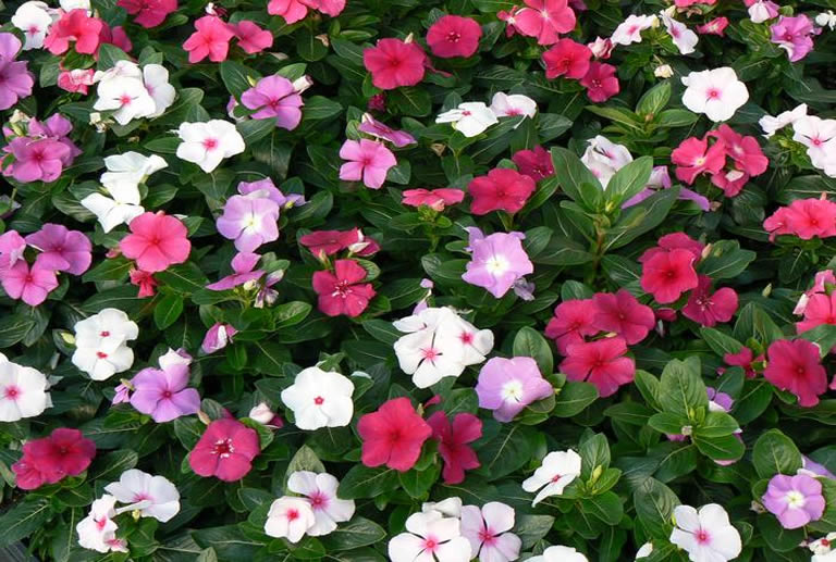 Blooming mixed colored periwinkles