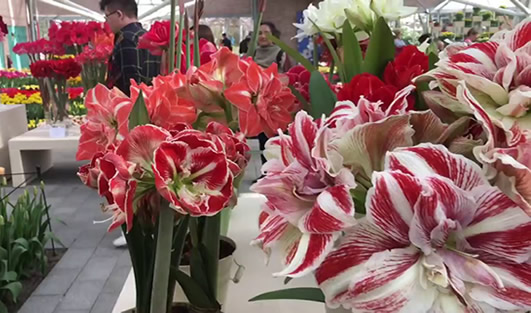 A few different species of Amaryllis with different colored blooms