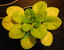 African violet leaves turned yellow