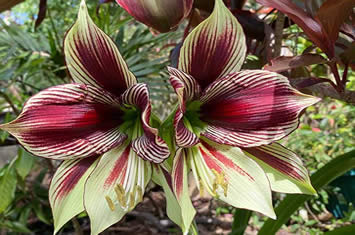 Outdoor butterfly amaryllis