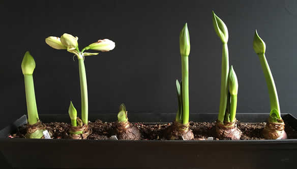 Stagnating amaryllis growth cycles