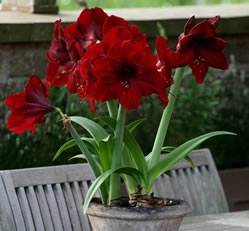 potted outdoor amaryllis in uk