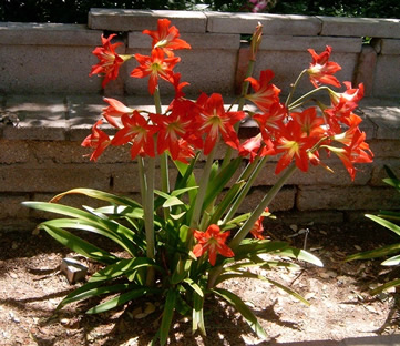 Amaryllis growing outside in climate zone 10