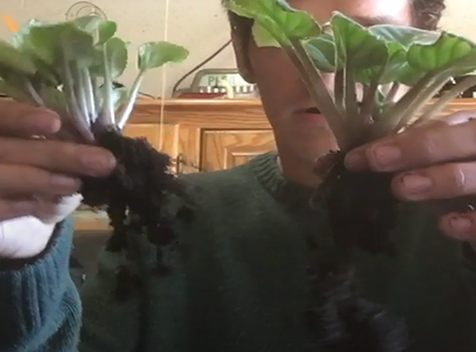 African violet separated at roots