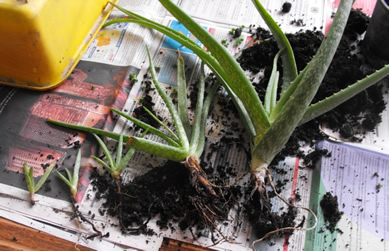 Aloe plant with 1 big and 3 small offsets