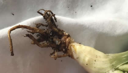 Root rot in aloe plant