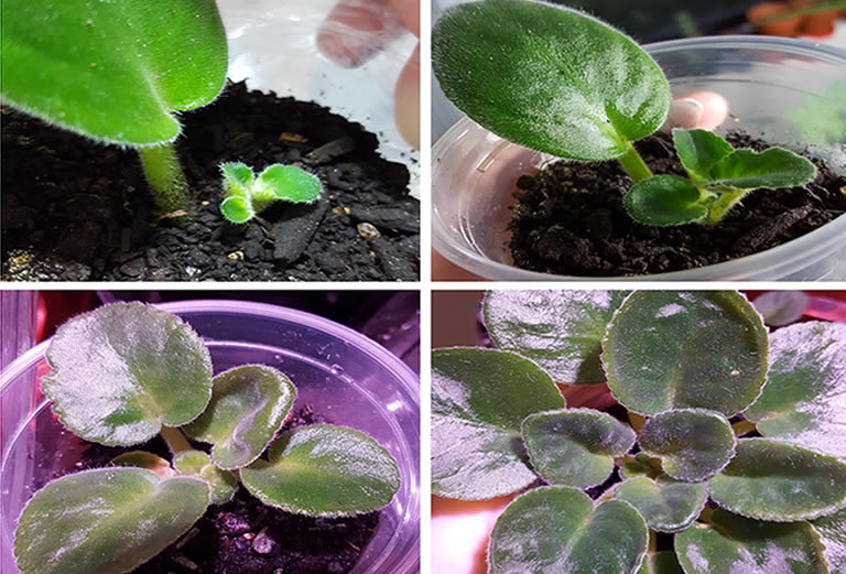 Stages of a growing african violet